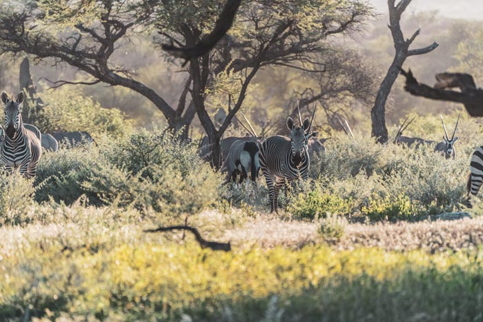 zebra and oryx in the distance