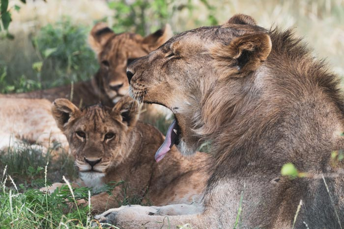 tired lions