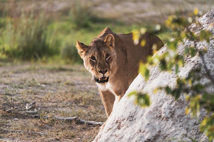 lioness on the prowl